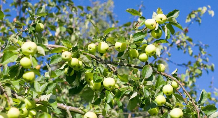 äppel-2