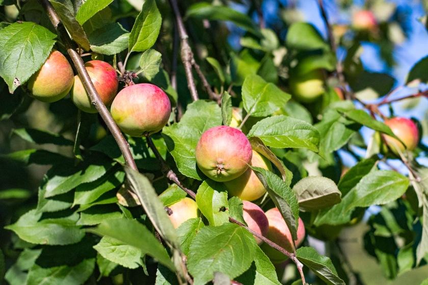 äppel-3