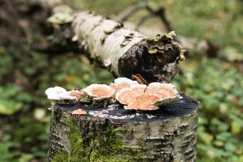tete minttu svampar (3 of 6)