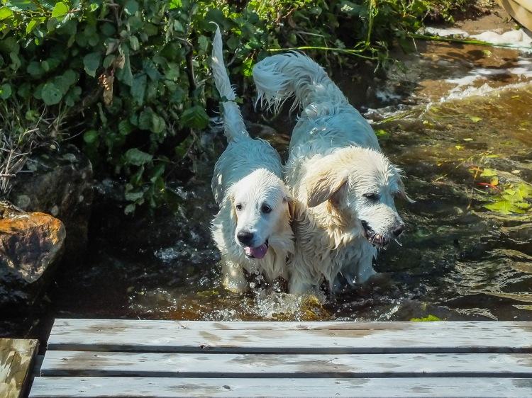 hundarna badar-2